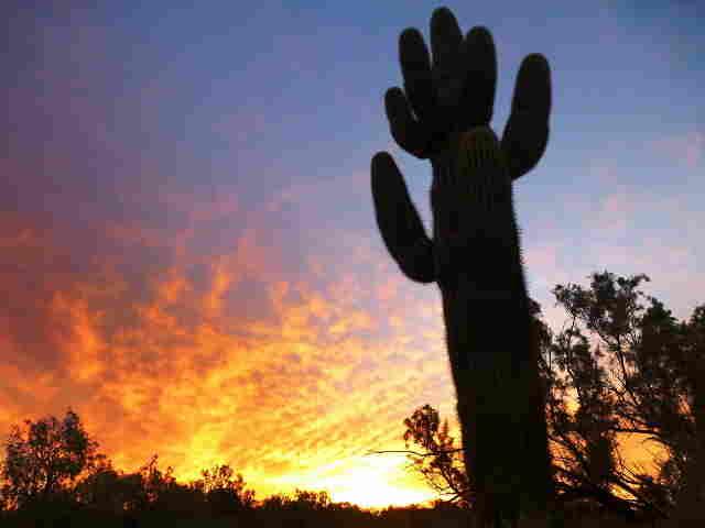 Boondocker Chatter Online - Saguaro Cactus